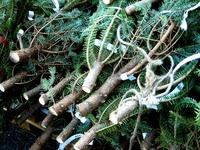 20121118_イケア船橋_モミの木クリスマスツリー_1503_DSC02290