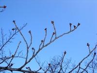 20120314_東京都台東区上野公園5_桜_花見_1650_DSC08261