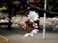 20130320_船橋市若松3_若松公園_桜_1148_DSC05972