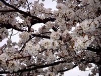 20130323_船橋市本町6_とんぼ大黒像_桜_1550_DSC07486