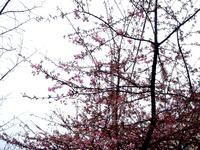 20120324_船橋市_海老川_サクラ_桜_1220_DSC00032