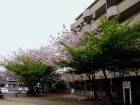 20120421_船橋市本町4_本町中央児童公園_桜_さくら_1037_DSC09473