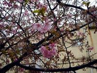 20120324_船橋市_海老川_サクラ_桜_1220_DSC00035
