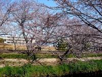20120408_船橋市_海老川ジョギングロード_サクラ_0932_DSC08078