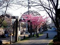 20130309_船橋市本町6_海老川_桜_オカメサクラ_1604_DSC03159