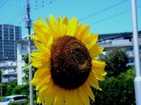 20120819_船橋市若松3_若松小学校前_ヒマワリ_1140_DSC08586