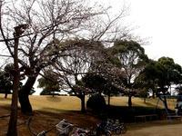 20130320_船橋市若松3_若松公園_桜_1147_DSC05957