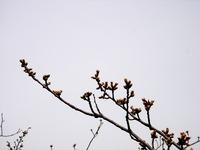 20130320_船橋市若松1_船橋競馬場_桜_染井吉野_1205_DSC06091