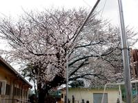 20130323_船橋市前貝塚町_塚田小学校_桜_1322_DSC07314