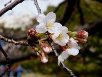 20130320_船橋市若松3_若松公園_桜_1148_DSC05970