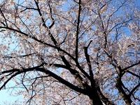 20120412_船橋市浜町2_ららぽーとTOKYO-BAY_桜_0751_DSC08492