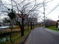 20121201_船橋市_海老川ジョギングロード_サクラ_1223_DSC04418