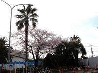 20120413_船橋市浜町2_ららぽーとTOKYO-BAY_桜_0750_DSC08531