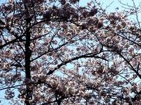 20120407_船橋市若松1_船橋競馬場_桜_サクラ_0854_DSC09485T
