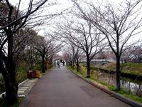 20130323_船橋市_海老川_サクラ_桜_1027_DSC07111