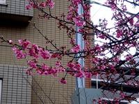 20120311_船橋市本町4_本町中央児童公園_桜_さくら_1122_DSC08035