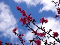20120311_船橋市本町4_本町中央児童公園_桜_さくら_1121_DSC08032