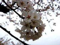 20130323_船橋市前貝塚町_塚田小学校_桜_1323_DSC07322