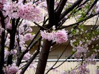 20120421_船橋市本町4_本町中央児童公園_桜_さくら_1038_DSC09481