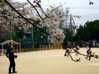 20130323_船橋市前貝塚町_塚田小学校_桜_1323_DSC07320
