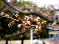 20130320_船橋市若松3_若松公園_桜_1148_DSC05964