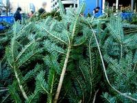 20121118_イケア船橋_モミの木クリスマスツリー_1504_DSC02298