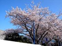 20120412_船橋市浜町2_ららぽーとTOKYO-BAY_桜_0751_DSC08496