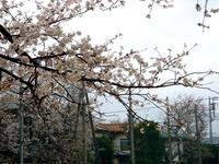20130323_船橋市前貝塚町_塚田小学校_桜_1323_DSC07323