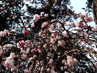 20130324_船橋市夏見2_日枝神社_源平紅白花桃_1457_DSC08001