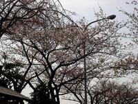 20130323_三井ガーデンホテルズ船橋ららぽーと_桜_0923_DSC06961