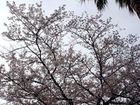 20120413_船橋市浜町2_ららぽーとTOKYO-BAY_桜_0750_DSC08534