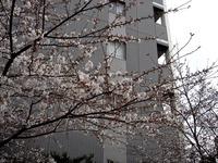 20130323_船橋市本町6_とんぼ大黒像_桜_1549_DSC07481
