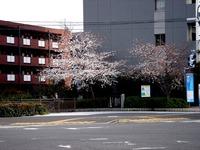 20130324_船橋市本町6_とんぼ大黒像_桜_1506_DSC08075