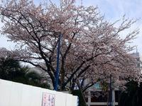 20120413_船橋市浜町2_ららぽーとTOKYO-BAY_桜_0751_DSC08538