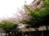 20120421_船橋市本町4_本町中央児童公園_桜_さくら_1037_DSC09474