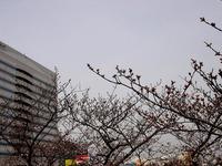 20130320_船橋市若松1_船橋競馬場_桜_染井吉野_1205_DSC06095