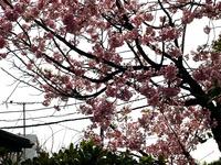 20130320_船橋市若松1_船橋競馬場_桜_1210_DSC06117