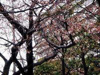 20120403_船橋市浜町2_三井ガーデンホテル_サクラ_桜_1556_DSC09266