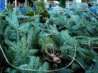 20121118_イケア船橋_モミの木クリスマスツリー_1504_DSC02293