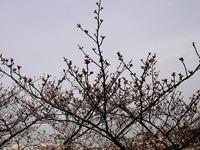 20130320_船橋市若松1_船橋競馬場_桜_染井吉野_1205_DSC06093