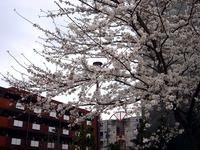 20130323_船橋市本町6_とんぼ大黒像_桜_1549_DSC07480