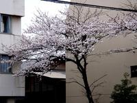 20130324_船橋市市場4_慈心会青山病院_桜_1240_DSC07896