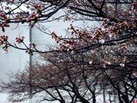 20120403_船橋市浜町2_三井ガーデンホテル_サクラ_桜_1555_DSC09262