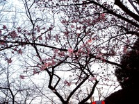 20120314_東京都台東区上野公園5_桜_花見_1700_DSC08306