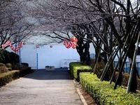 20120325_船橋市浜町2_三井ガーデンホテル_サクラ_桜_1147_DSC08370