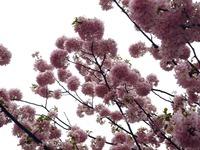 20120421_船橋市本町4_本町中央児童公園_桜_さくら_1037_DSC09477