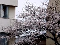 20130324_船橋市市場4_慈心会青山病院_桜_1240_DSC07898T