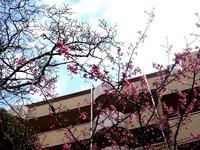 20120311_船橋市本町4_本町中央児童公園_桜_さくら_1121_DSC08028
