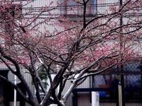 20120311_船橋市本町4_本町中央児童公園_桜_さくら_1122_DSC08034