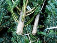 20121118_イケア船橋_モミの木クリスマスツリー_1504_DSC02297